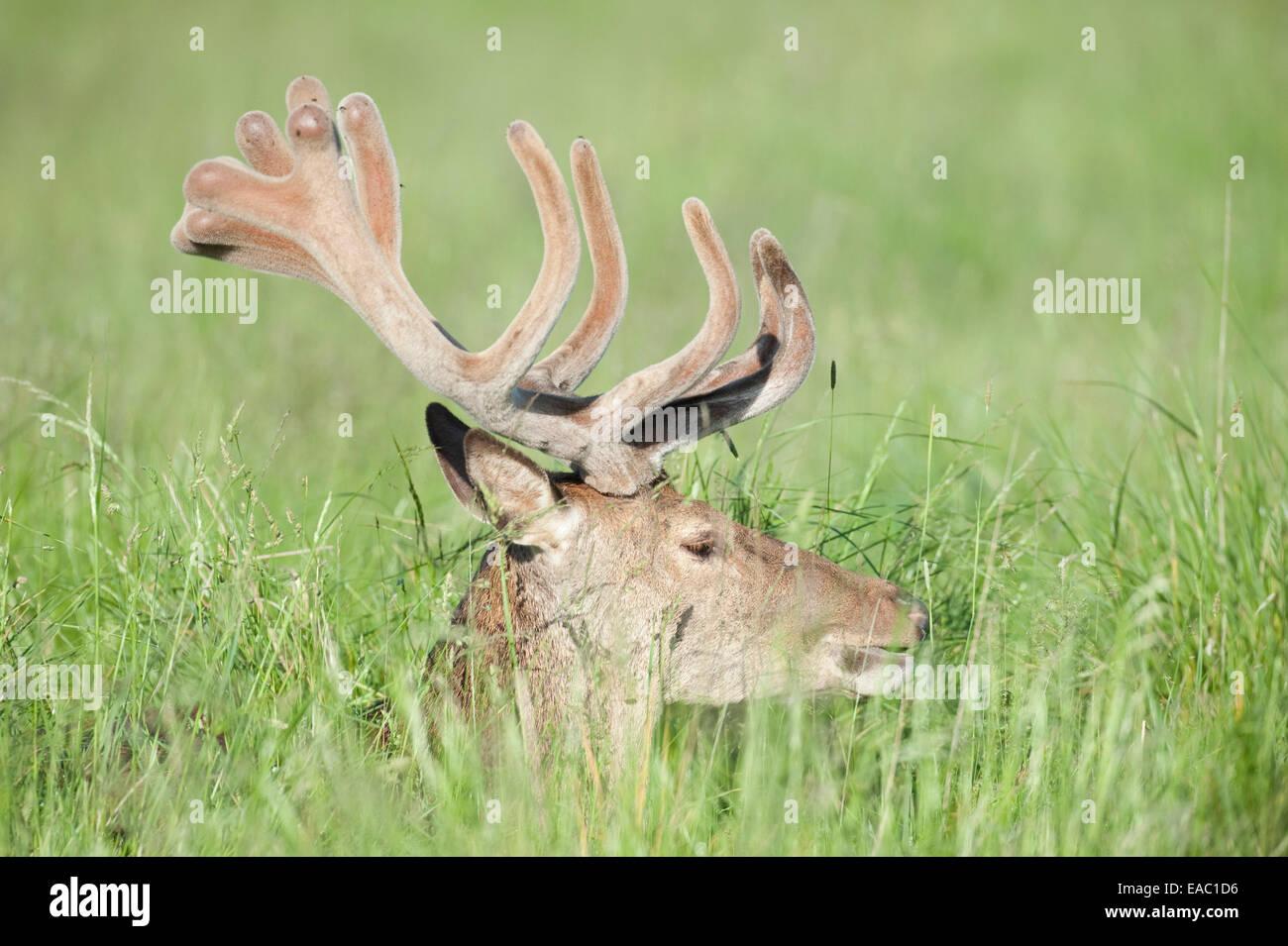 Red Deer Cervus elaphus Richmond Park London UK - Stock Image