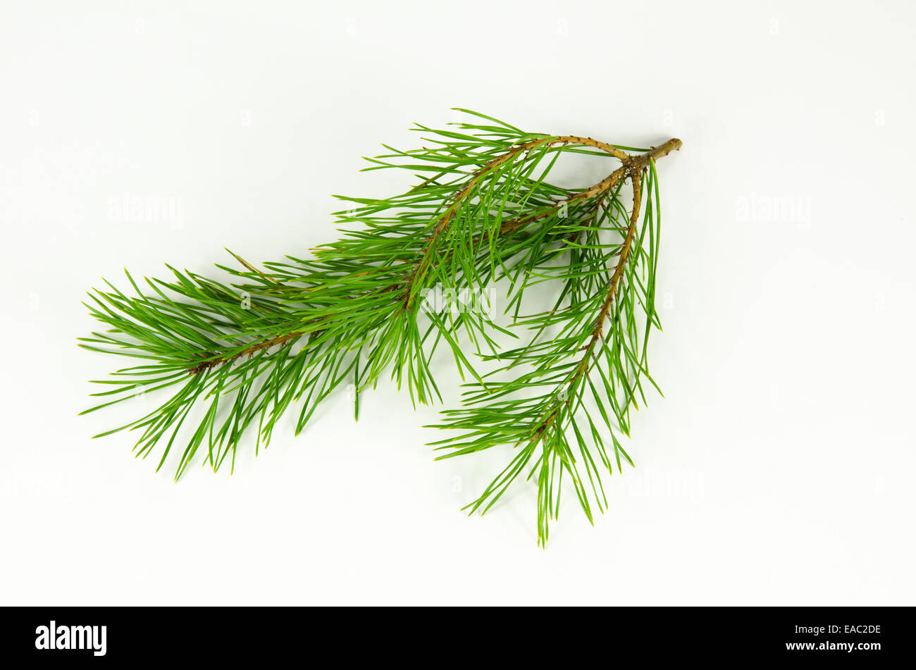 One pine tree twig at a white background - Stock Image