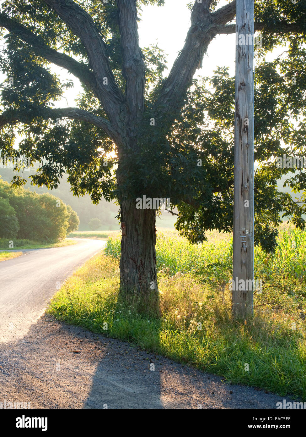 Hickory tree at country road during summer - Stock Image