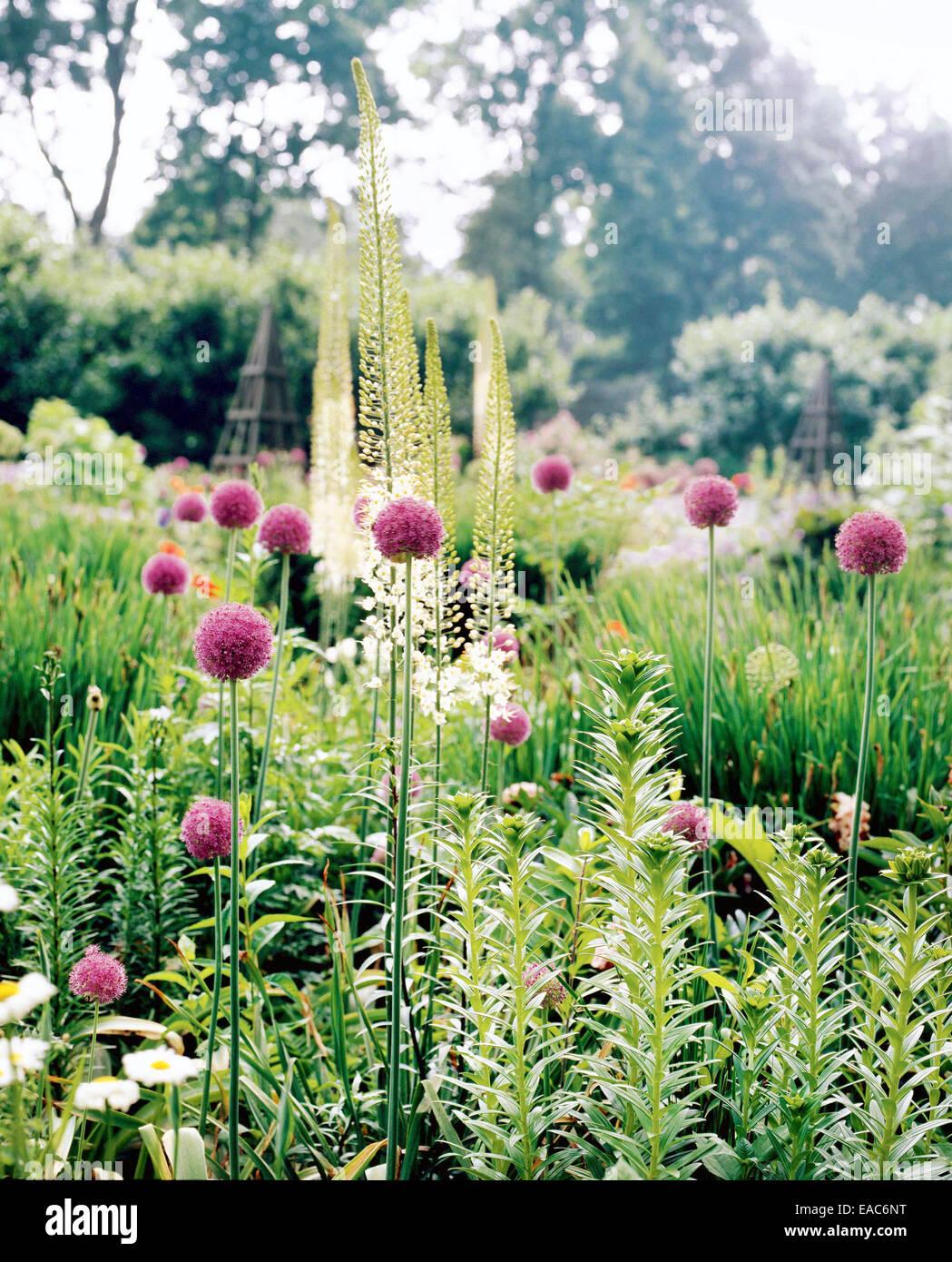 alliums in spring garden - Stock Image
