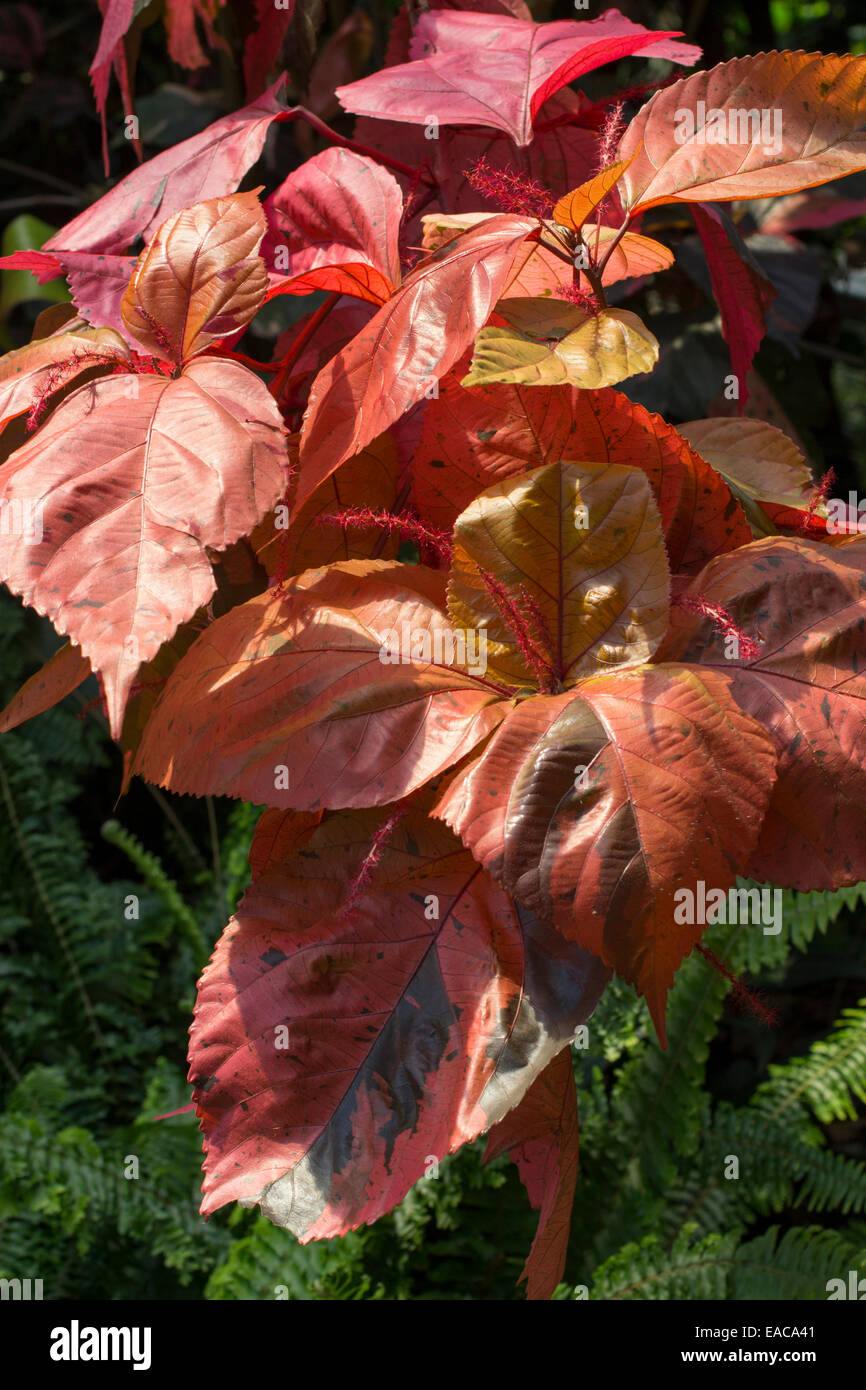 Exotically Bronzed Foliage Of The Sub Tropical Copperleaf Acalypha