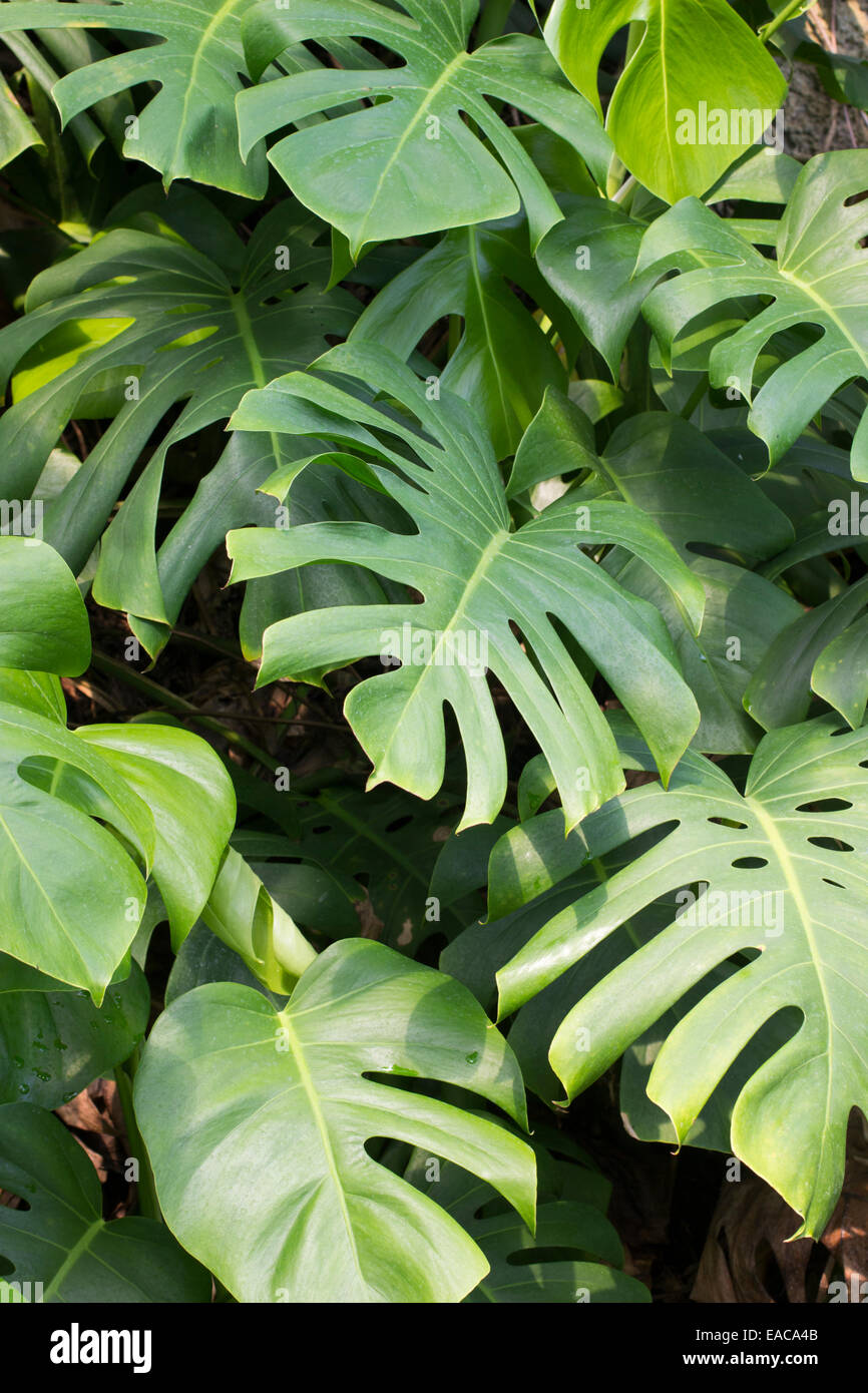Well divided foliage of the Swiss cheese plant, Monstera deliciosa - Stock Image