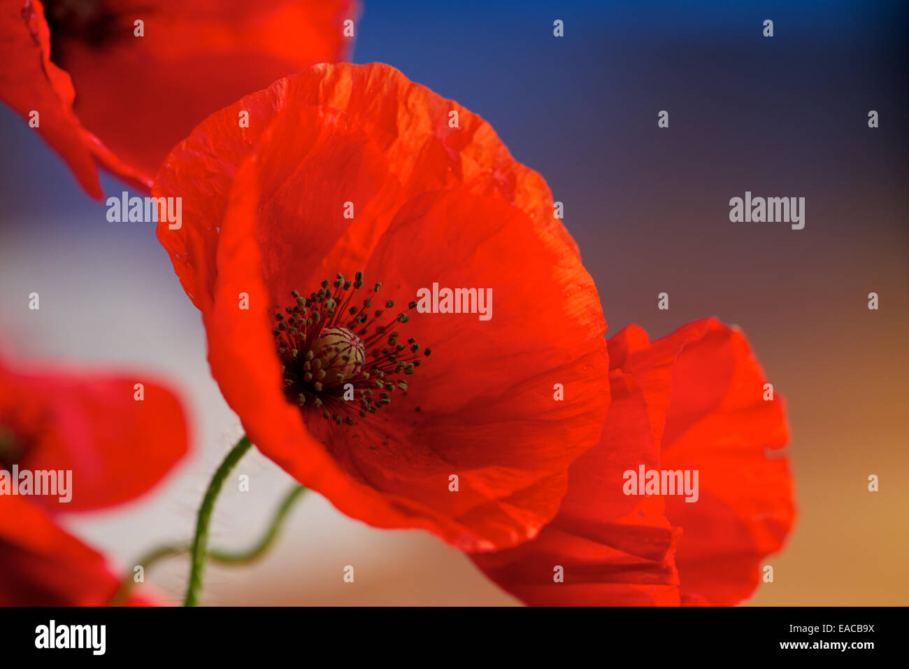 Close up of Poppies, poppy flower, macro shots,backlit. The remembrance poppy used to commemorate soldiers who have Stock Photo