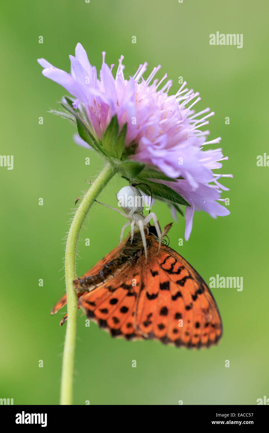 A Marbled Fritillary butterfly (Brenthis daphne) is captured and killed by a white crab spider laying ambush under - Stock Image