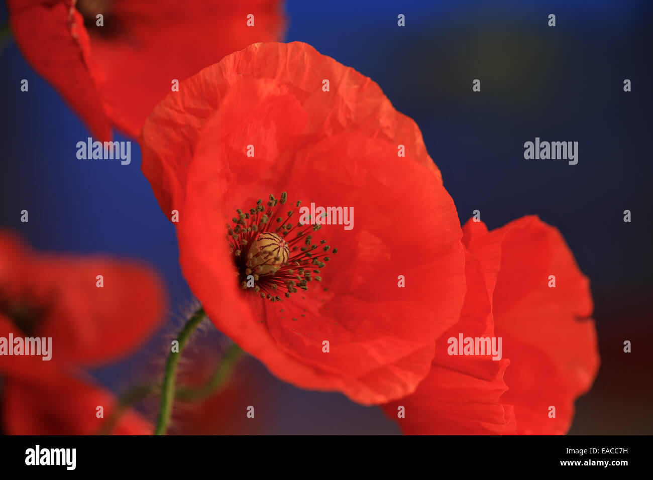 Close Up Of Poppies Poppy Flower Macro Shotsbacklit The Stock