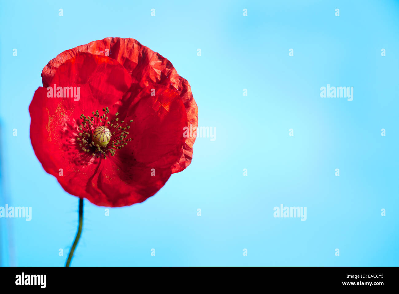 Close up of Poppies, poppy flower, macro shots,backlit. The remembrance poppy used to commemorate soldiers who have - Stock Image