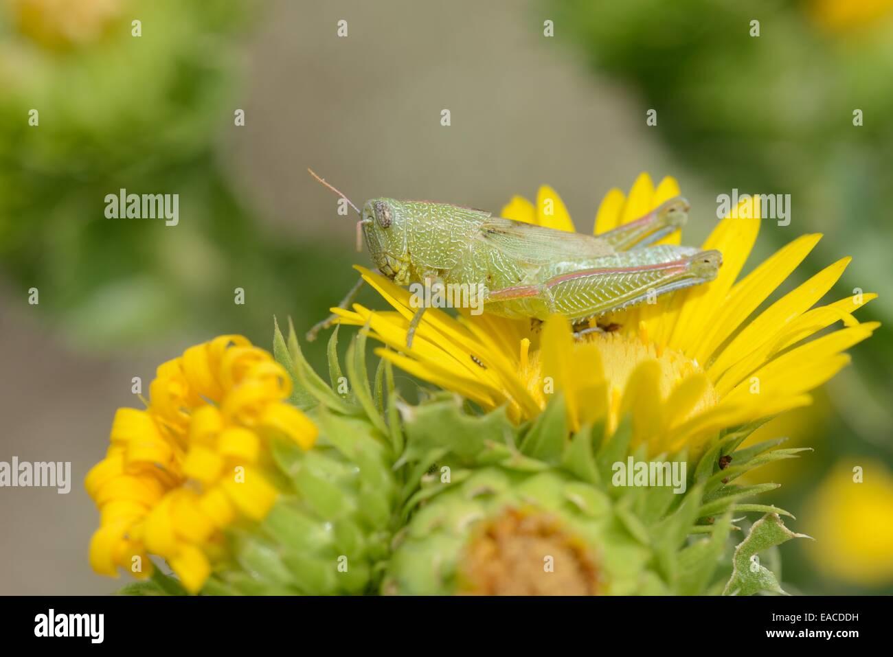 Showy Grasshopper on Saw-Leaf Daisy - Stock Image