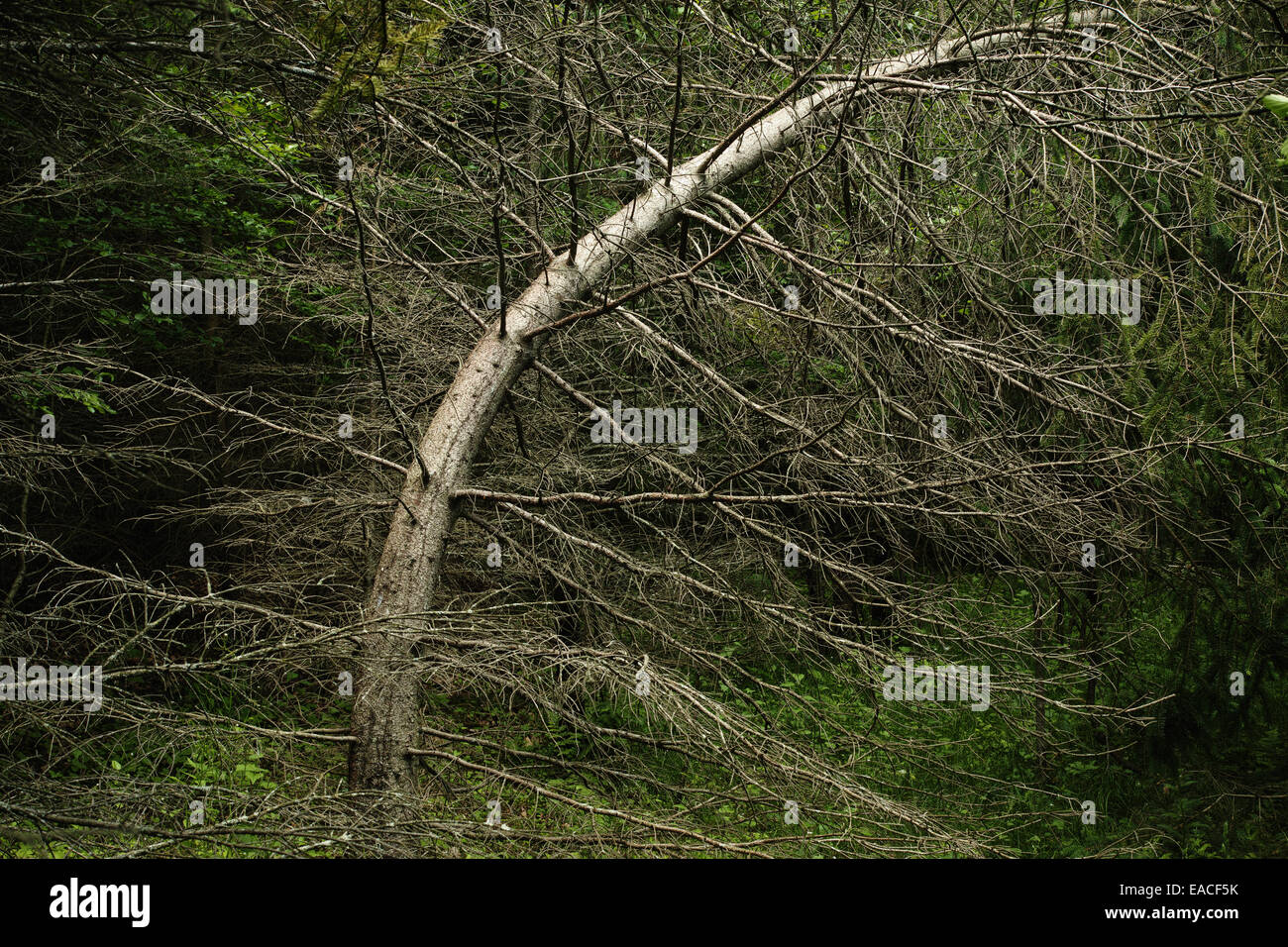 A spruce tree has an unusual lean in a forest. - Stock Image