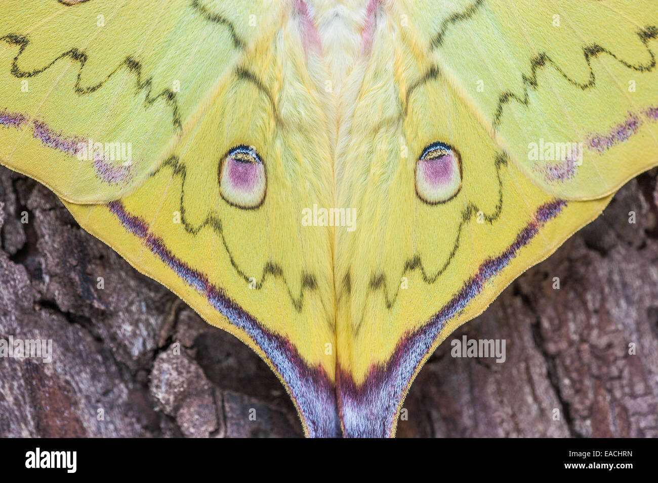 Chinese Moon Moth newly hatched male displaying eyespots. - Stock Image
