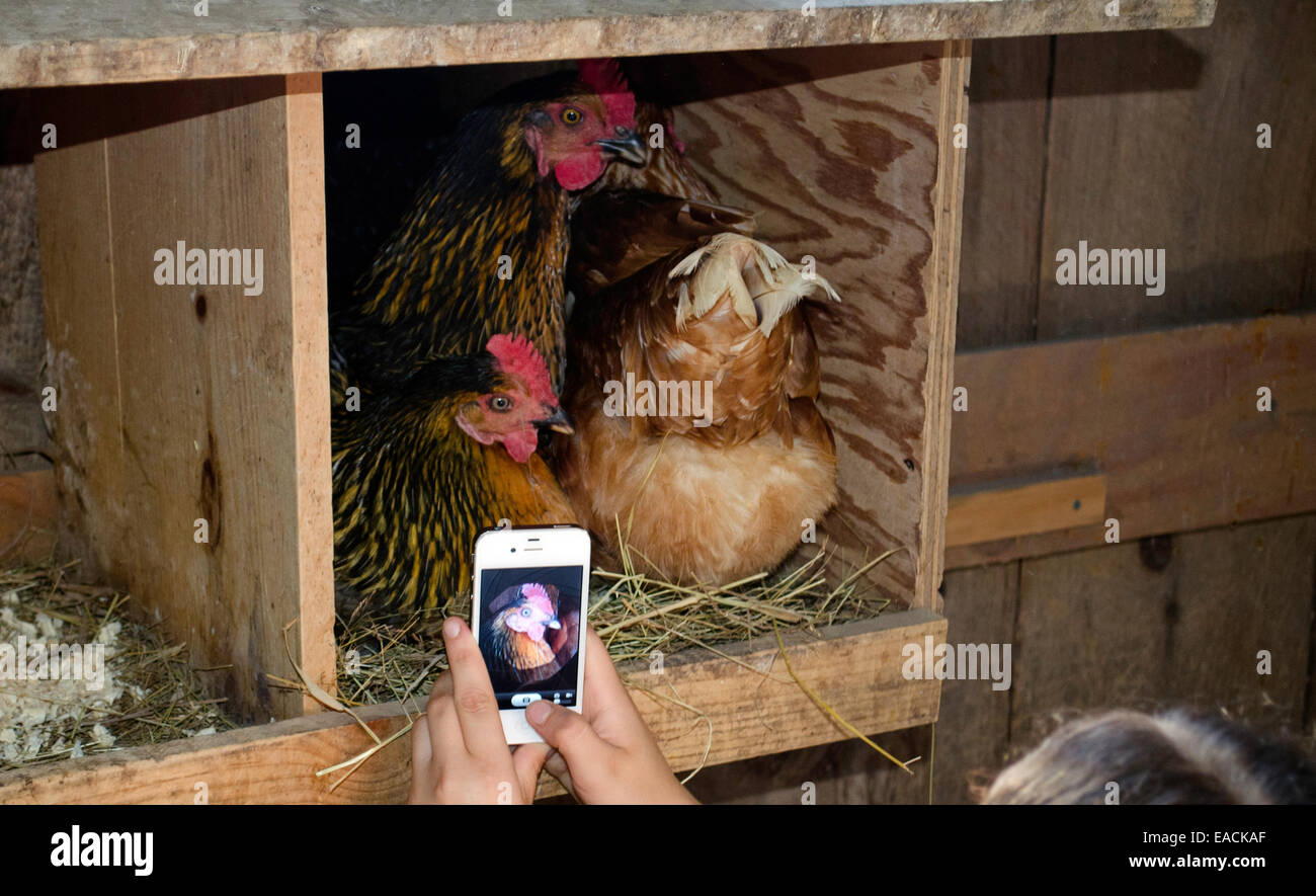 Girl takes photo of three chickens all in the same nest box with iphone, Maine, USA - Stock Image