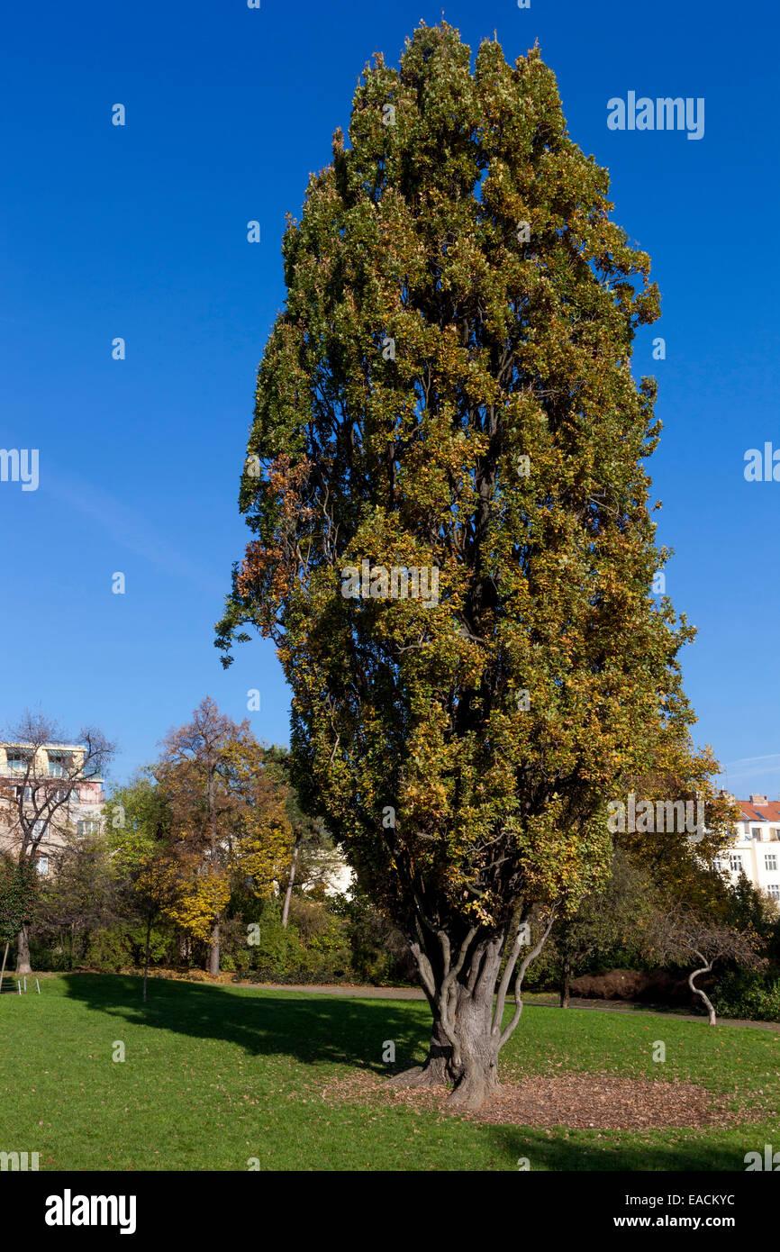 Oak Quercus robur Fastigiata Autumn, Letna Park Prague Czech Republic Stock Photo