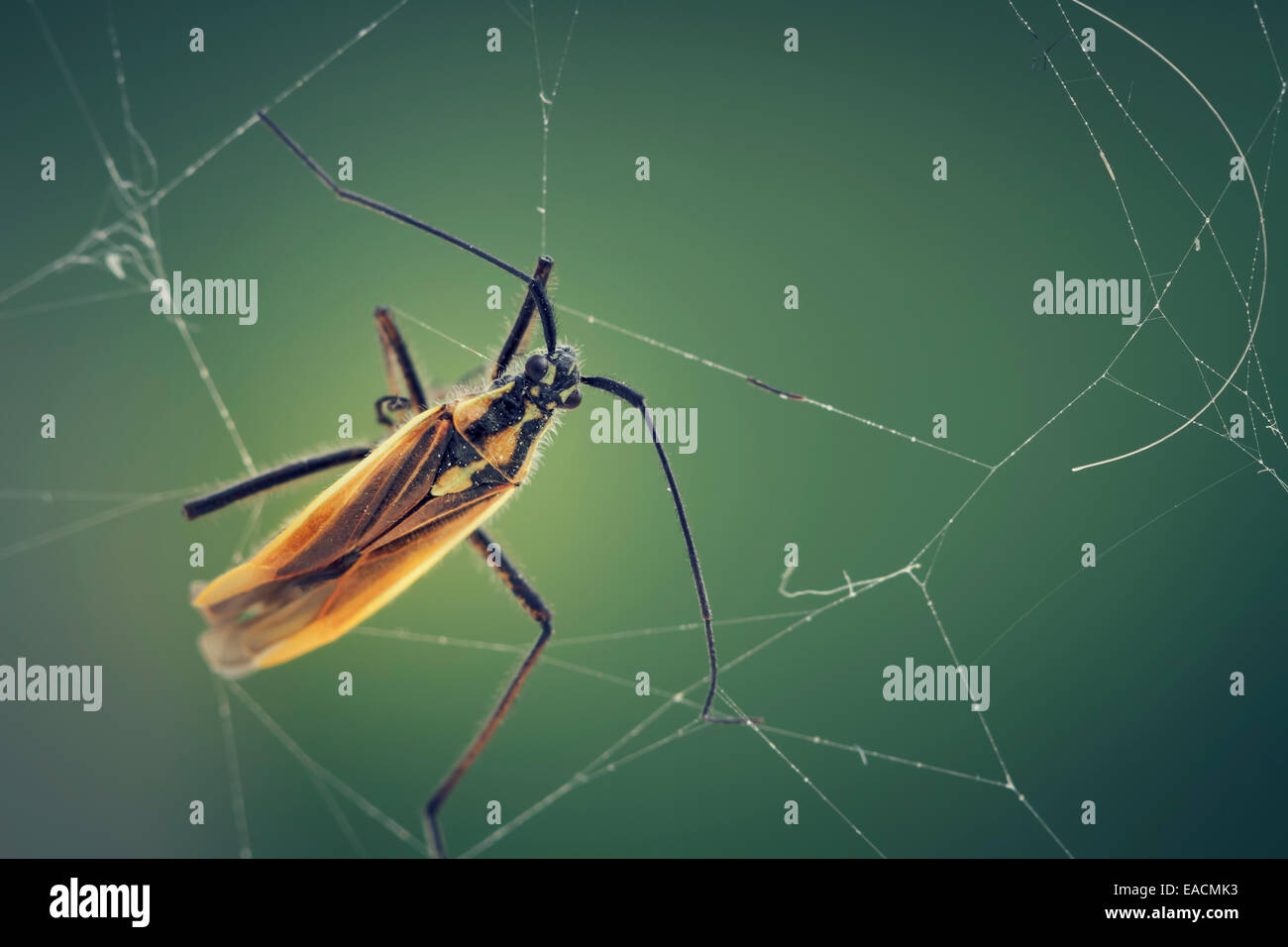 insect on cobweb - Stock Image