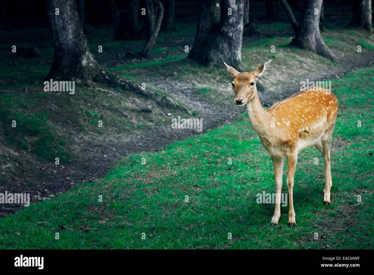 roe deer, reserve de Beaumarchais (Beaumarchais reserv) Indre et Loire, Centre, France. - Stock Image