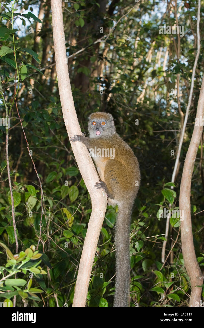 Eastern Lesser Bamboo Lemur also known as Gray Bamboo Lemur or Gray Gentle Lemur (Hapalemur griseus), Endemic, Vulnerable, - Stock Image