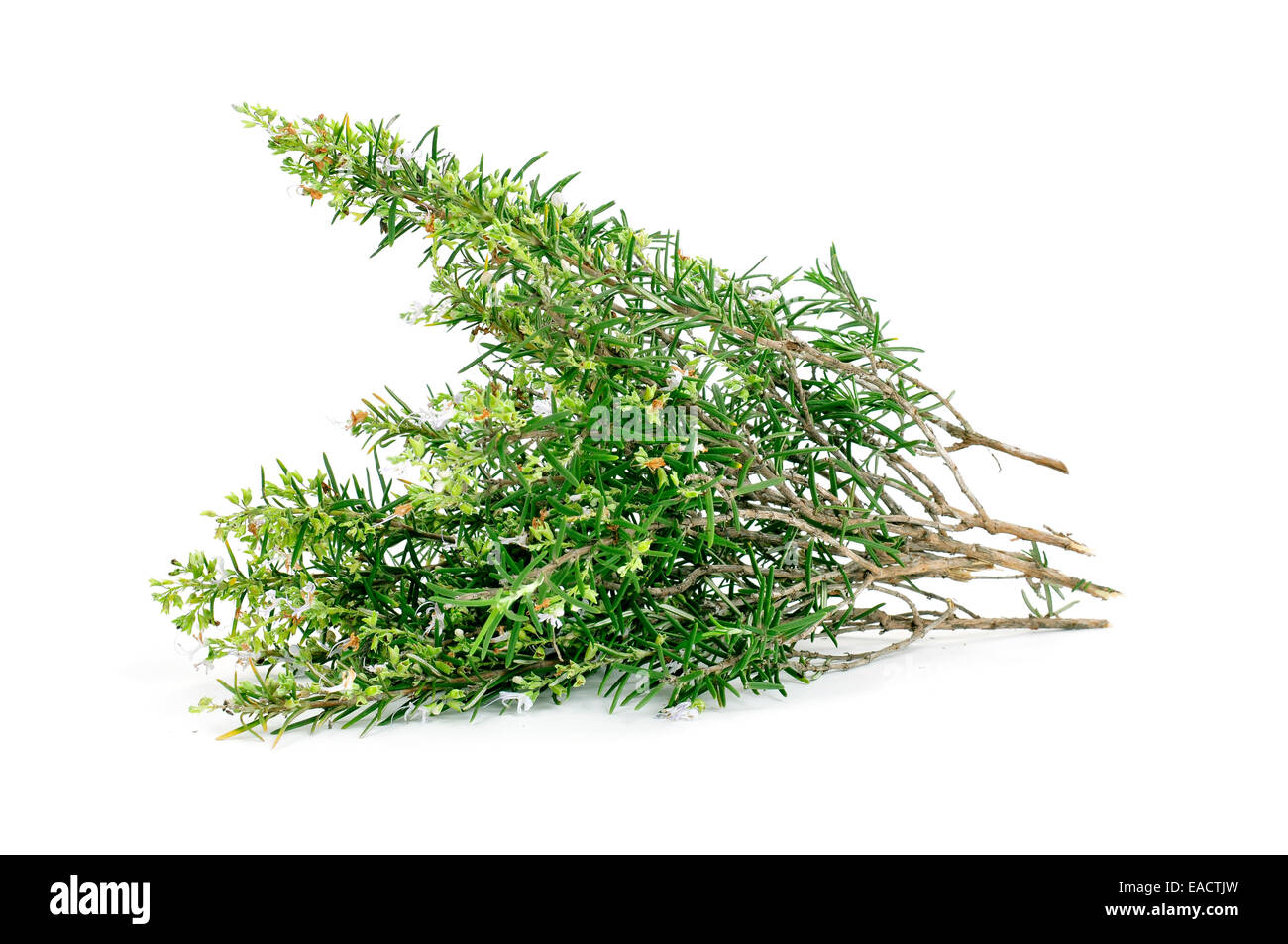 some sprigs of rosemary on a white background - Stock Image