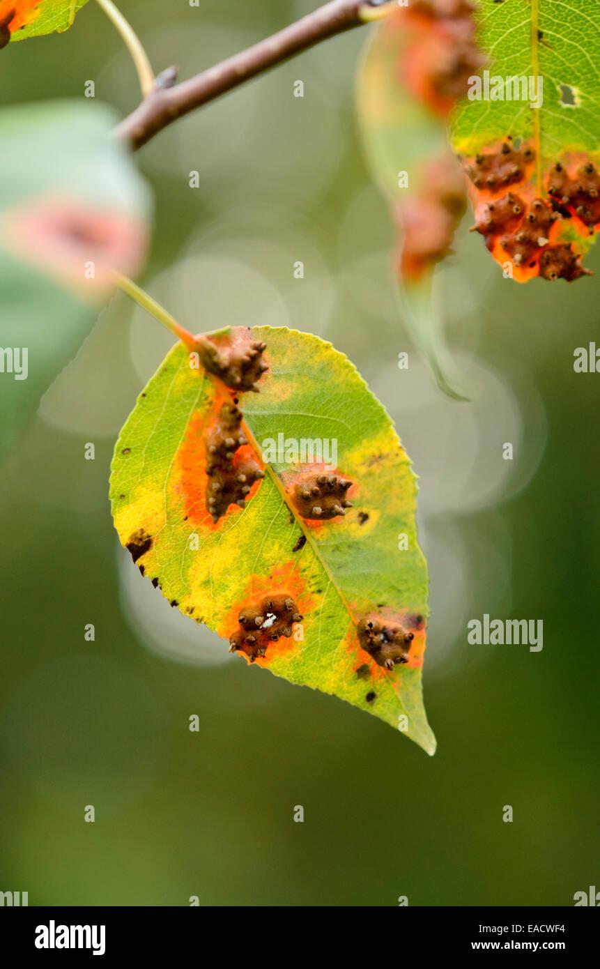 Pear (Pyrus) and pear rust (Gymnosporangium fuscum syn Stock Photo