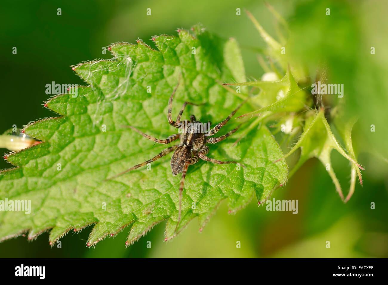Meadow Wolf-spider (Pardosa prativaga), male, North Rhine-Westphalia, Germany - Stock Image