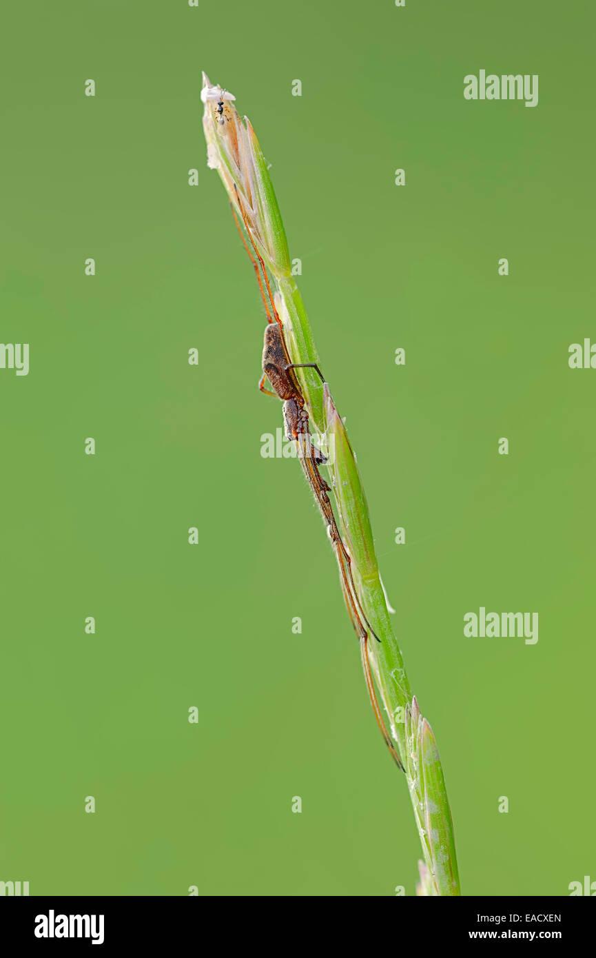 Dark Stretch-spider (Tetragnatha nigrita), on a blade of grass, North Rhine-Westphalia, Germany - Stock Image