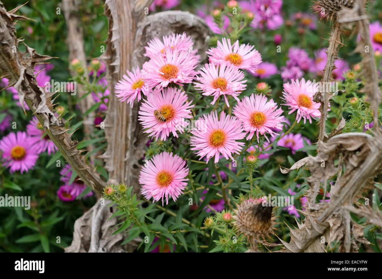 New England aster (Aster novae-angliae 'Rosa Sieger') - Stock Image