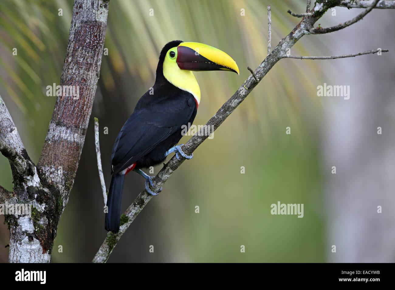 Chestnut-mandibled Toucan, Ramphastos swainsonii Stock Photo