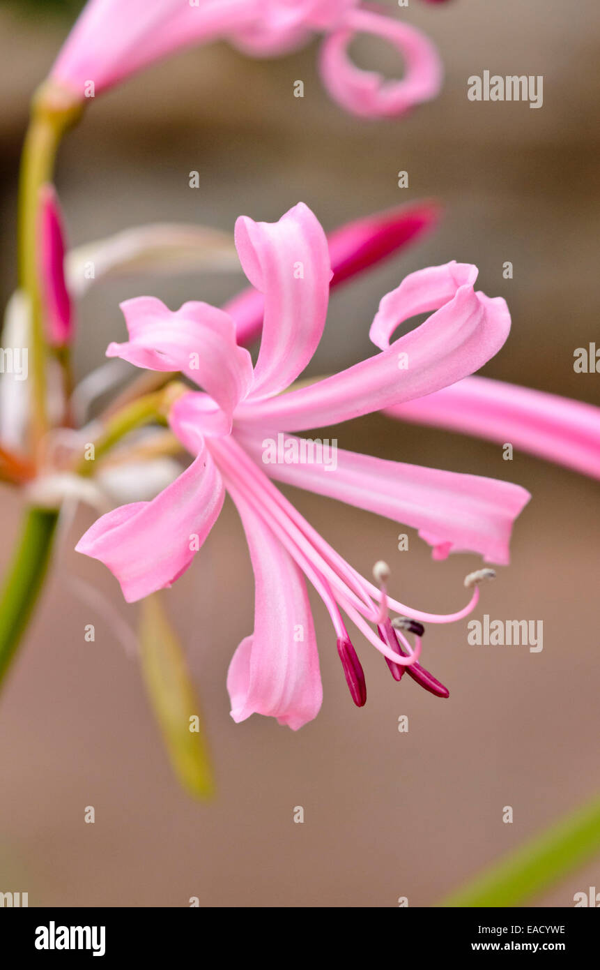Guernsey lily (Nerine bowdenii) - Stock Image