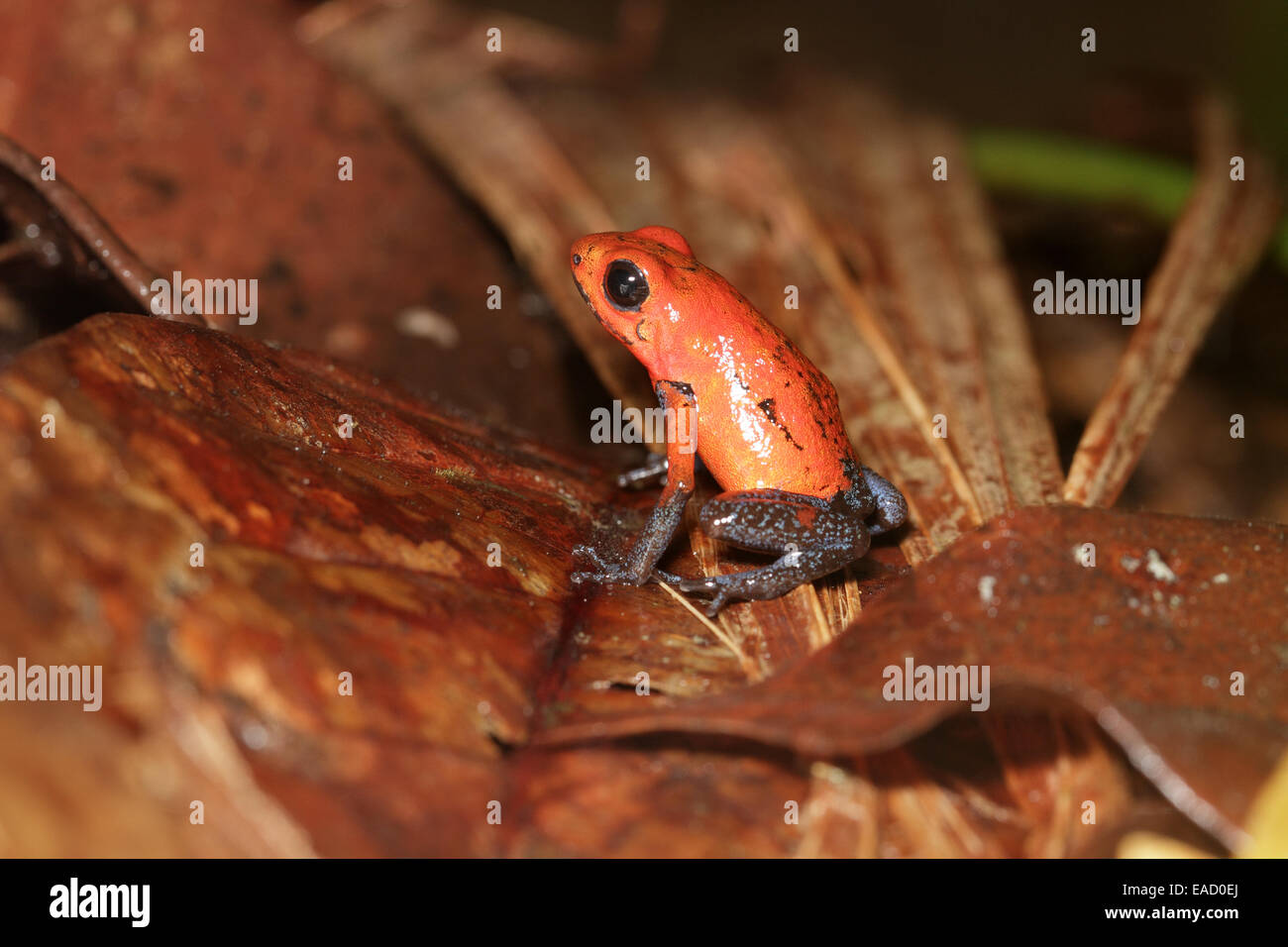 Strawberry Poison-dart Frog, Oophaga pumilio - Stock Image