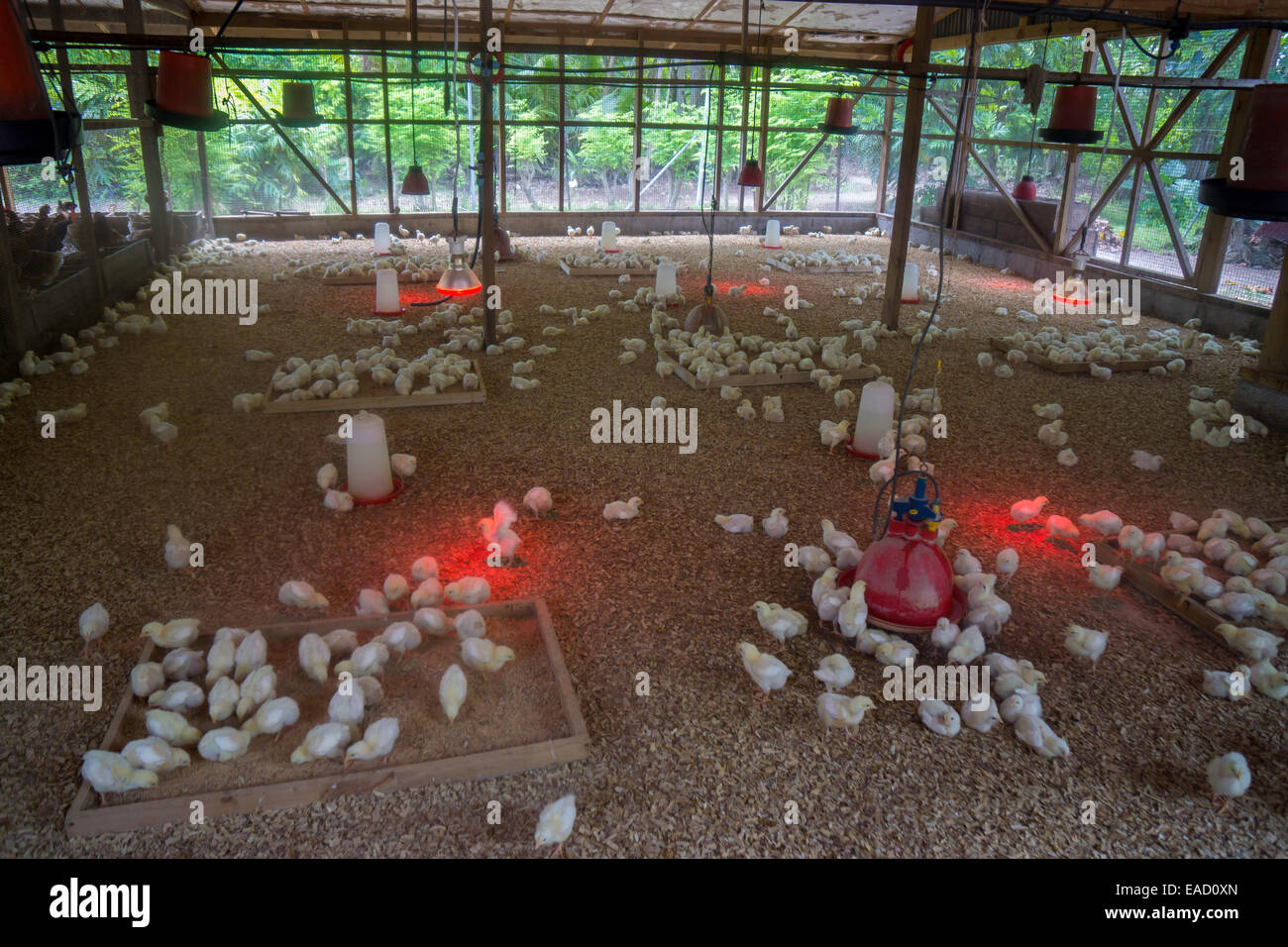 Chicks on a poultry farm, Denis Island, Seychelles - Stock Image