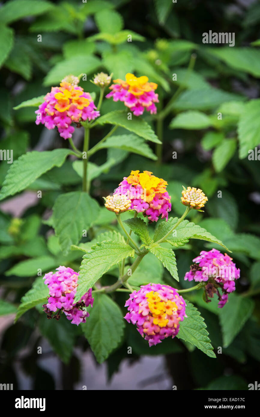Lantana camara, also known as big sage (Malaysia), wild sage, red sage, white sage (Caribbean) and tickberry (South Stock Photo