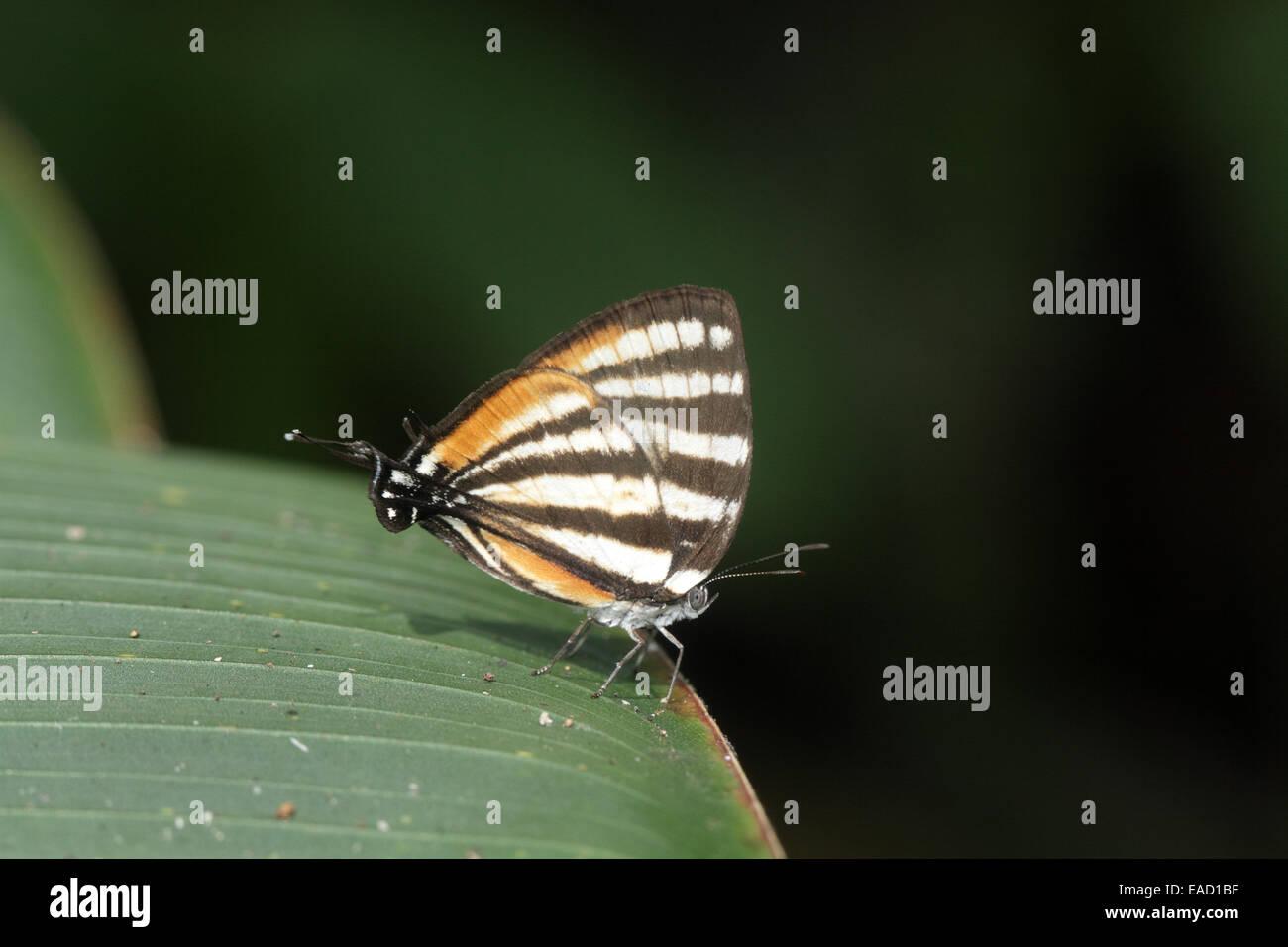 Stripestreak Butterlfy, Arawacus lincoides - Stock Image