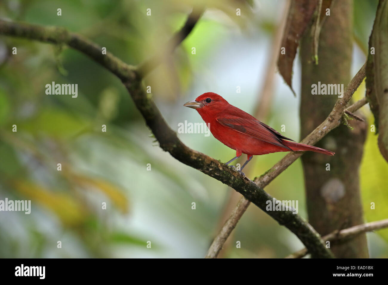 Summer Tanager, Piranga olivacea, in wintering grounds - Stock Image