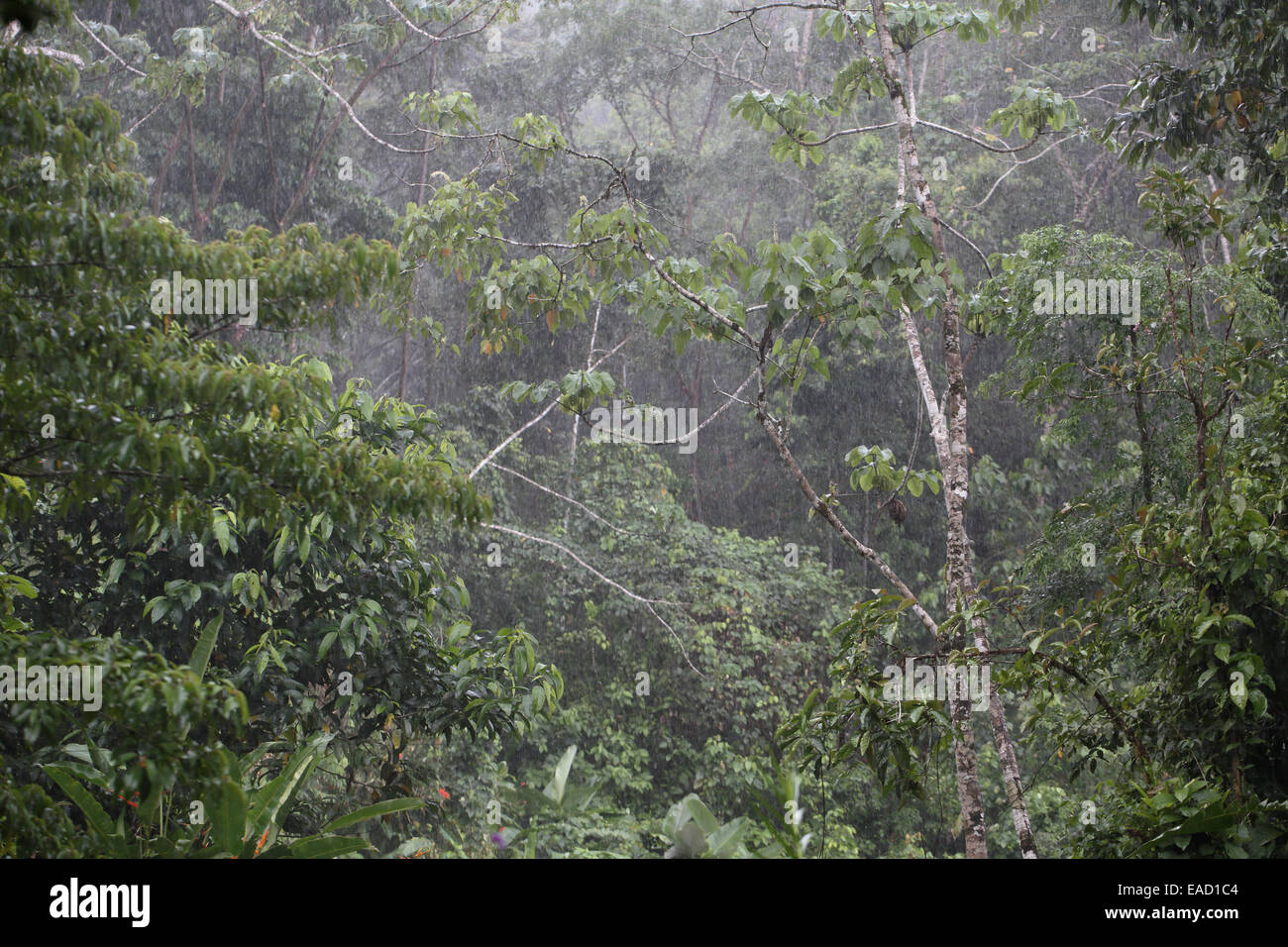 Raining in forest in Bosque Del Rio Tigre, Osa Peninsula Costa Rica - Stock Image
