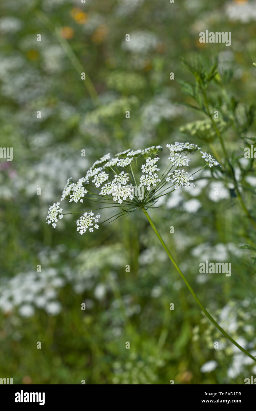 Ammi Majus 'Bishops flower' Stock Photo