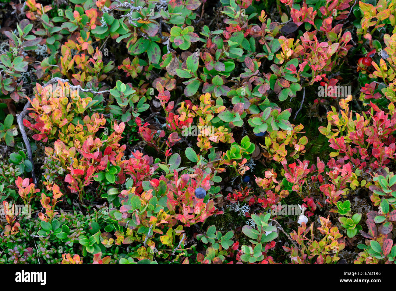 Autumnal mountain dwarf shrubs, Südtirol, Italy - Stock Image