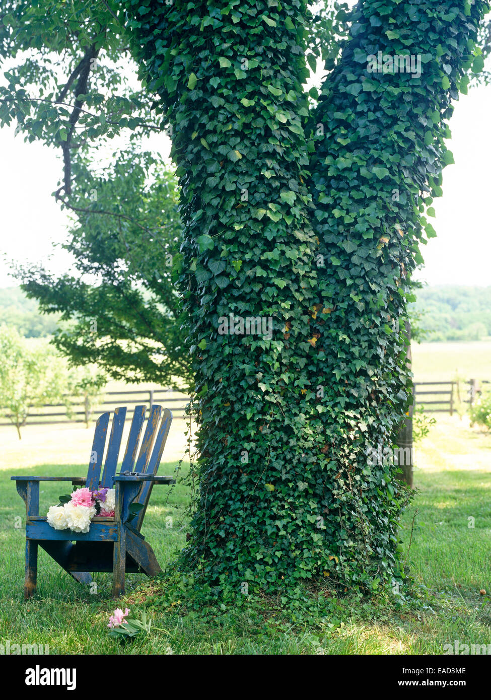 ivy covered tree and adirondeck chair with cut peonies - Stock Image