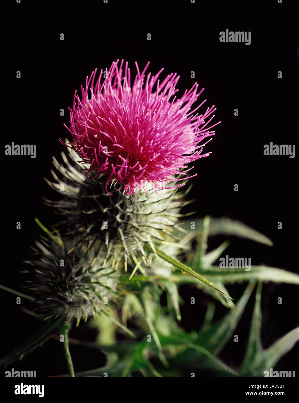Thistle, Spear thistle, Scotch thistle, Bull thistle, Cirsium vulgare, Pink subject, Black background. - Stock Image