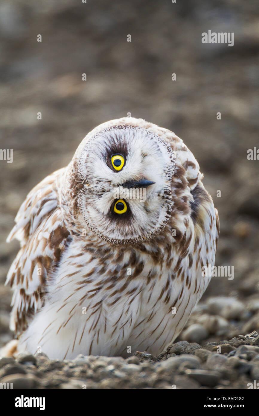 Arctic,Portrait,Alaska,Short Eared Owl - Stock Image