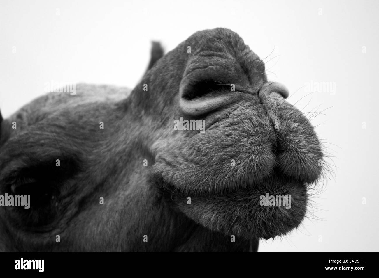 alert, animal, camel, colour image, desert, dubai, ear, eye, face ...