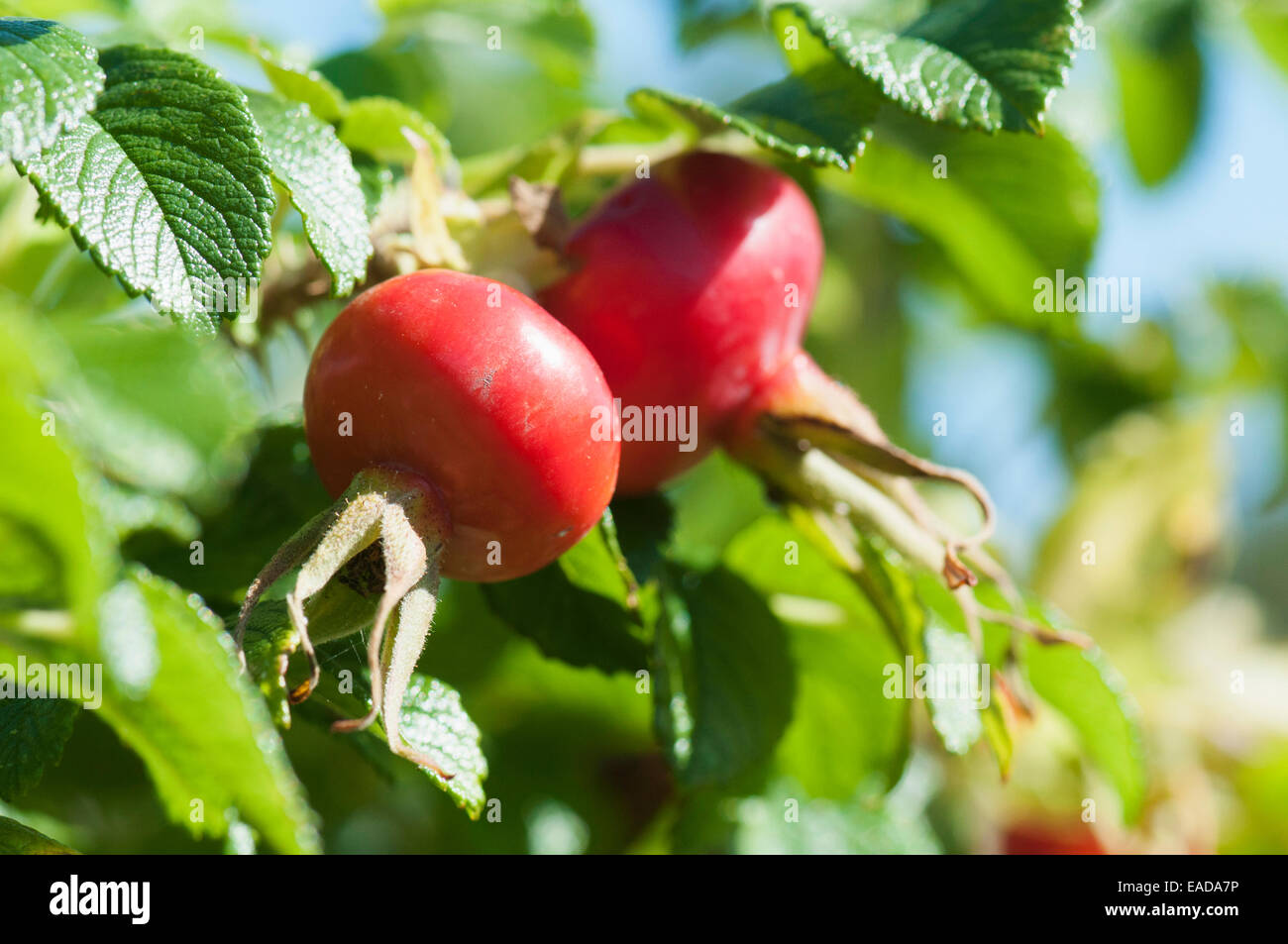 Rose, Rosa rugosa, Red subject, Green background. - Stock Image