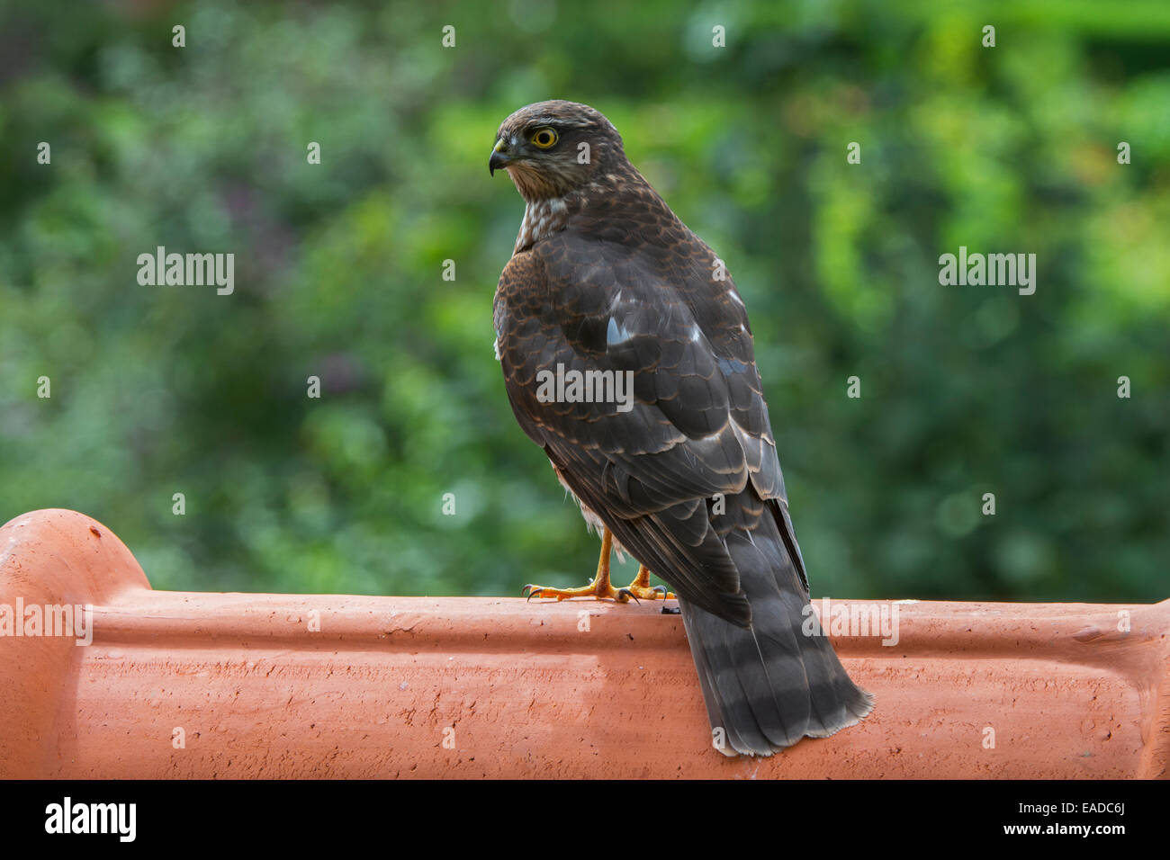Eurasian sparrowhawk / northern sparrowhawk (Accipiter nisus) perched on ridge tile of house's roof and preying - Stock Image