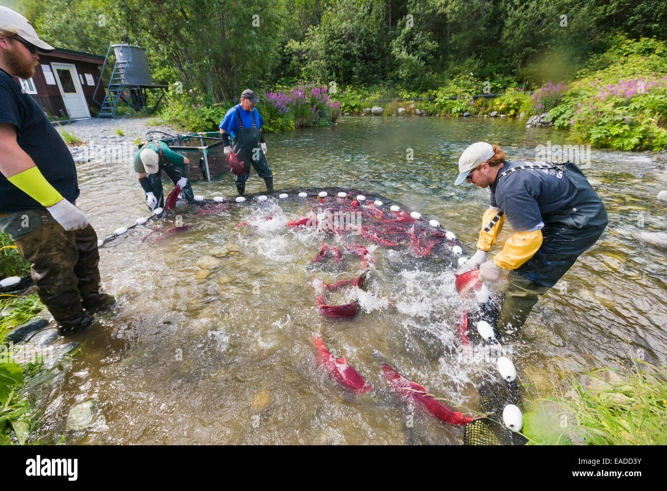 Alaska Department of Fish and Game employees capture red ...
