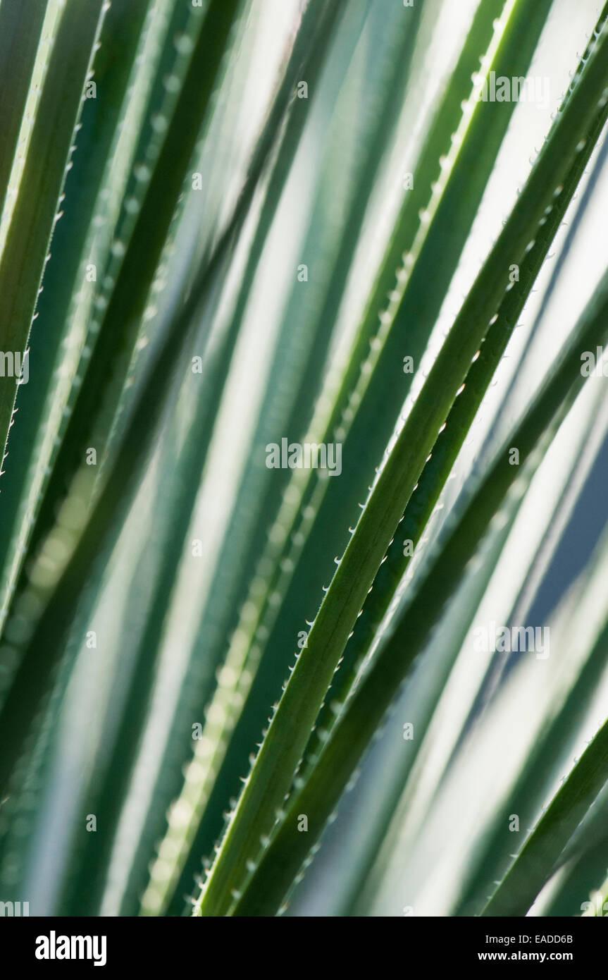 Blackdown Tableland Palm, Livistona fulva, Green subject. - Stock Image