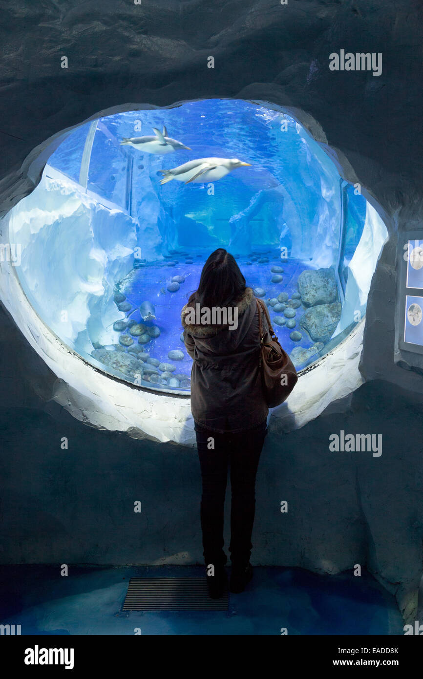 A young woman looking at the penguins in an aquarium tank, National Sealife centre, Birmingham UK - Stock Image