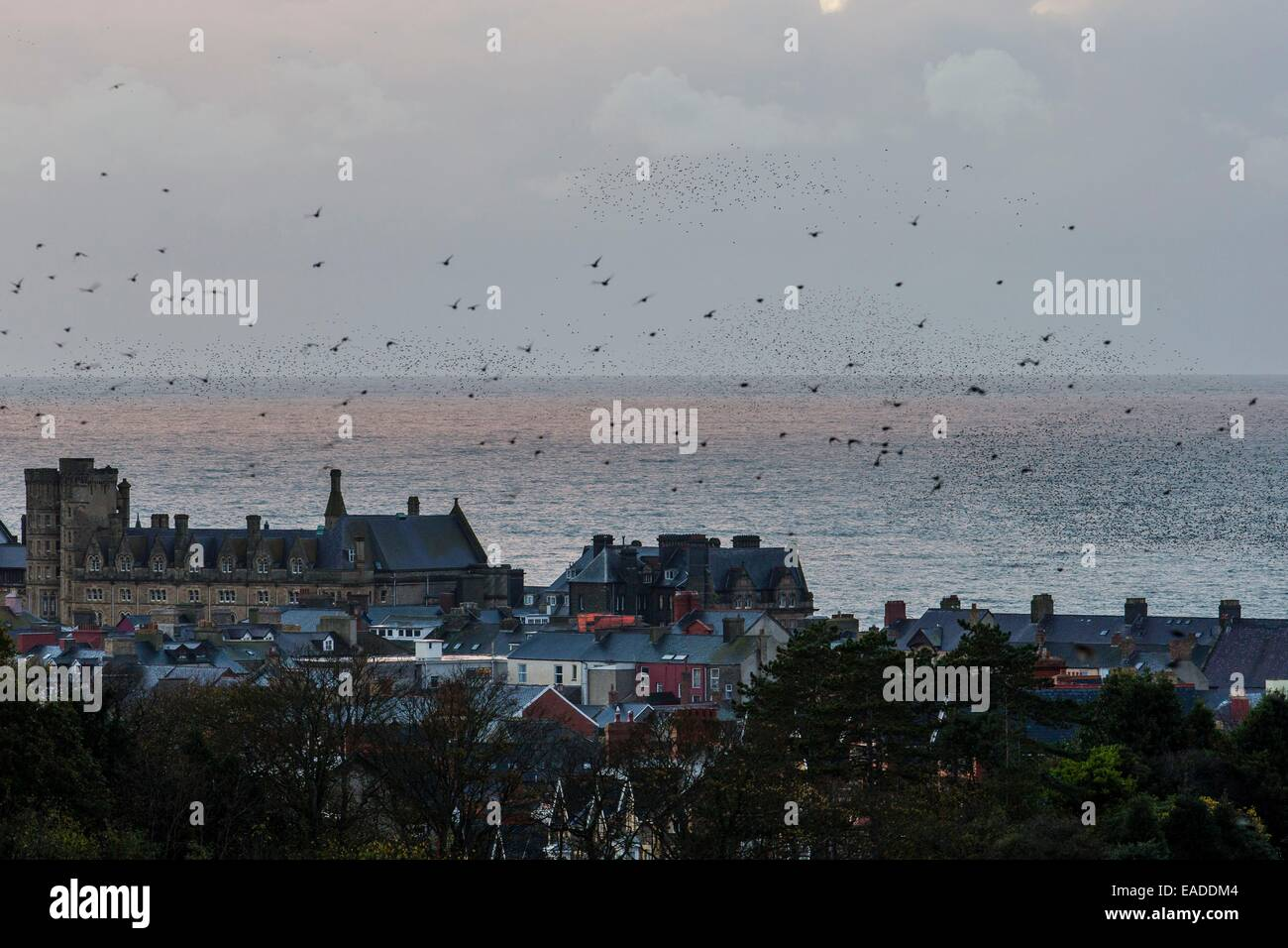 A murmuration of starlings over Aberystwyth in Ceredigion Stock Photo