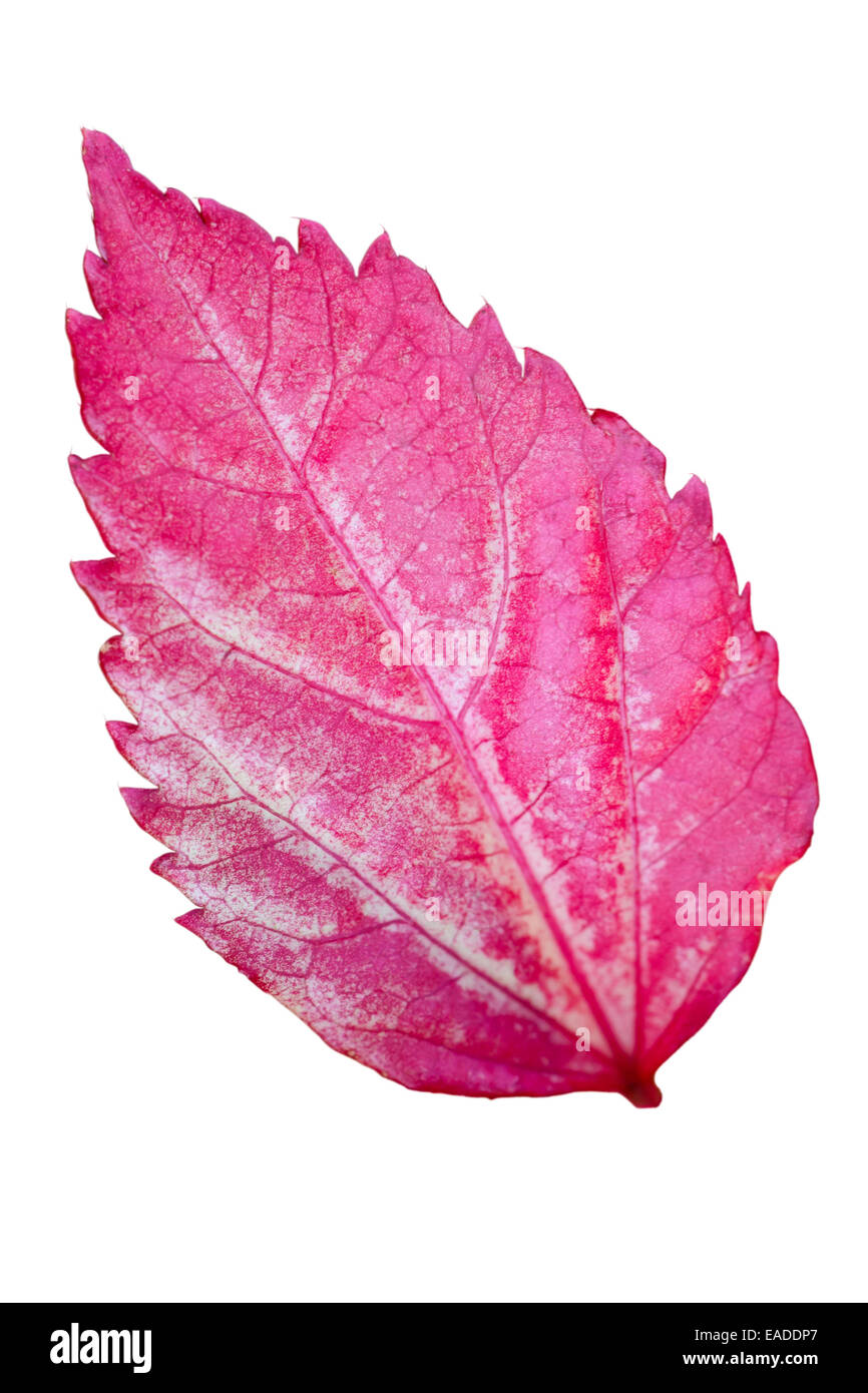 Pink leaf of the Snowflake Hibiscus ( Hibiscus rosa sinensis ) on white background - Stock Image