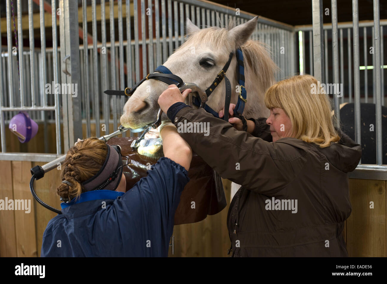 Veterinary surgeon filing teeth of horse with jaws held apart with speculum in stable. - Stock Image