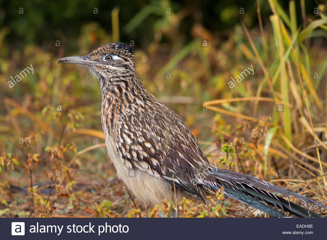 An adult Greater Roadrunner(Geococcyx californianus) with wet feathers looking for food after a rain. Image taken - Stock Image