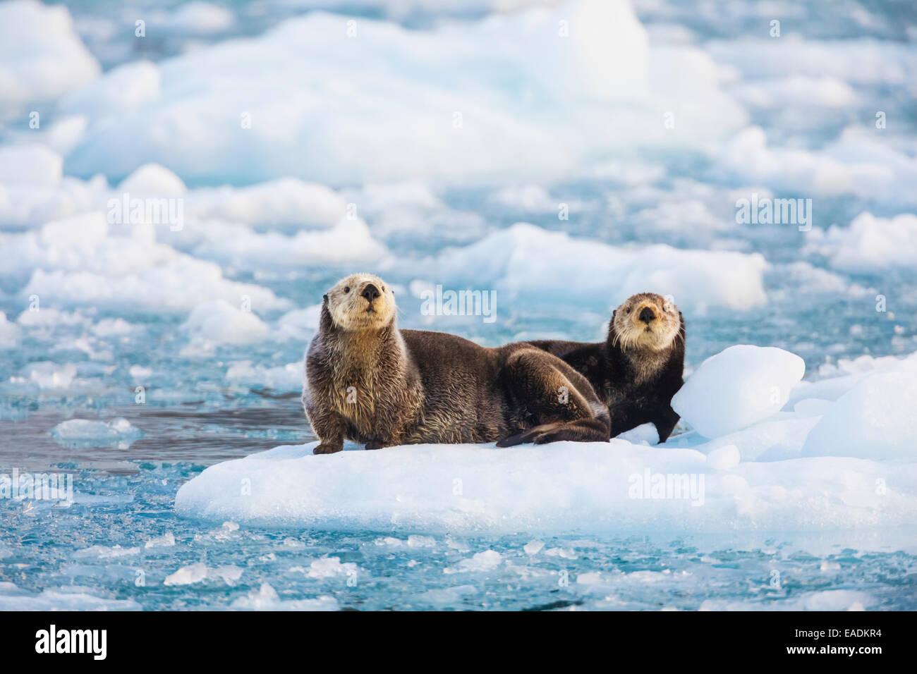 Sea otters in glacier ice, northern Prince William Sound, Alaska. - Stock Image
