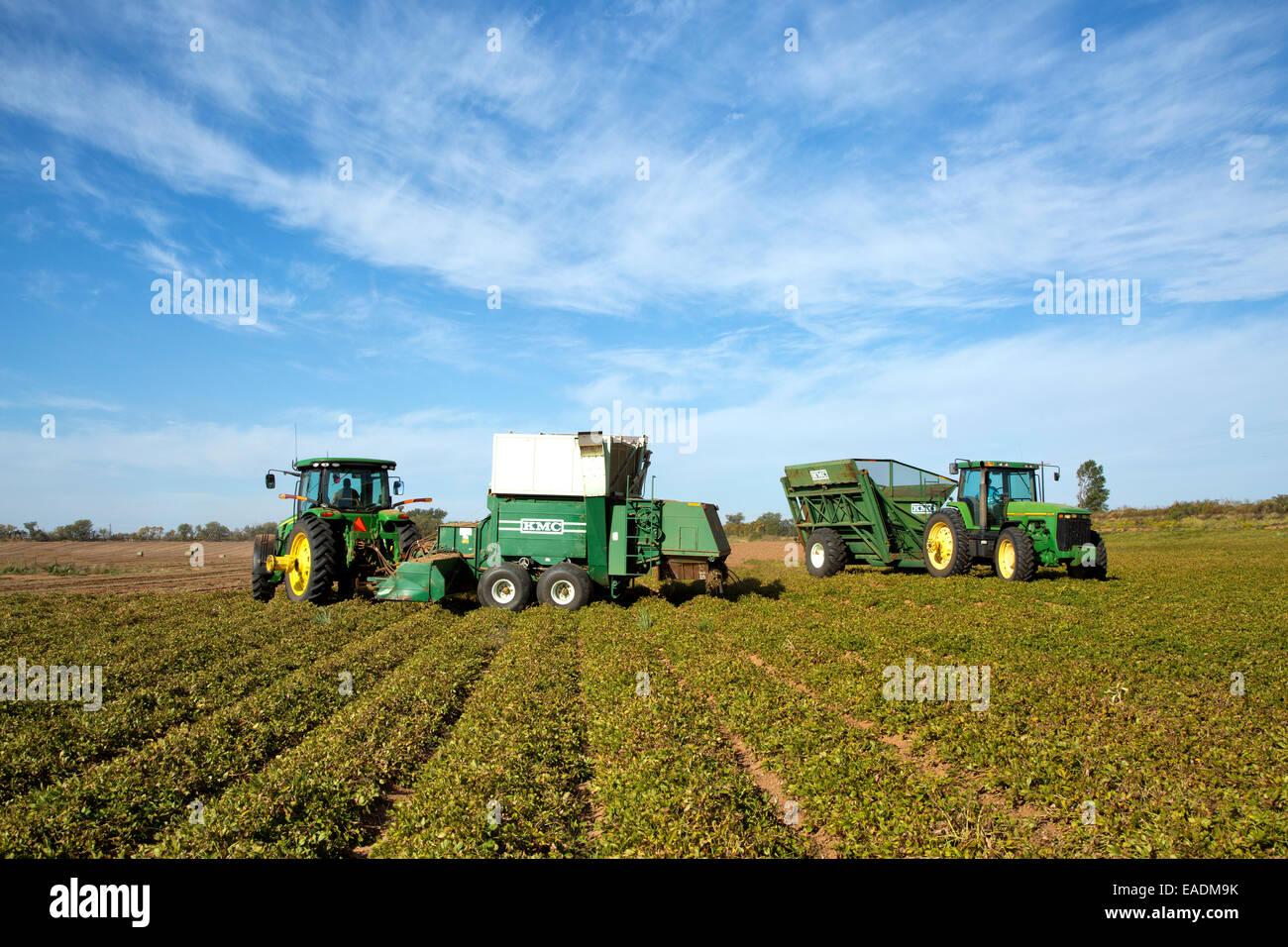 Peanut harvest, John Deere tractors, harvester & bankout wagon operating in field. - Stock Image