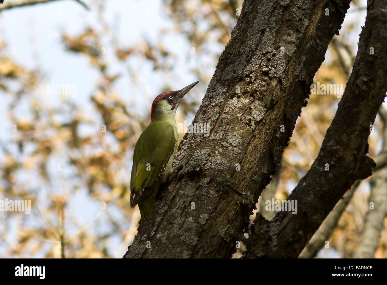 Male green woodpecker on a tree trunk autumn day - Stock Image