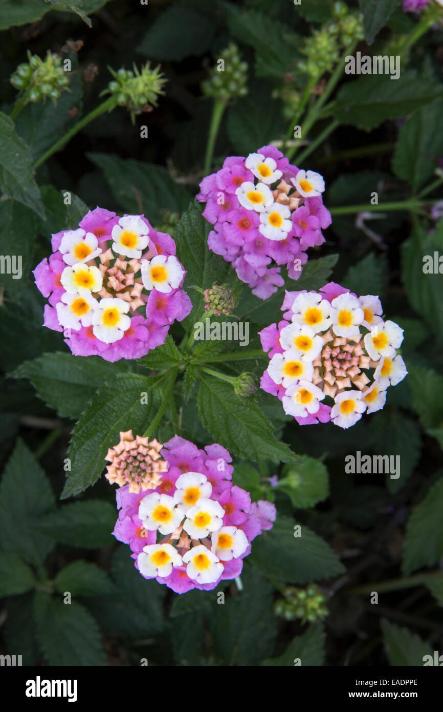 Lantana camara flowers growing wild in Kefalonia, Greece - Stock Image